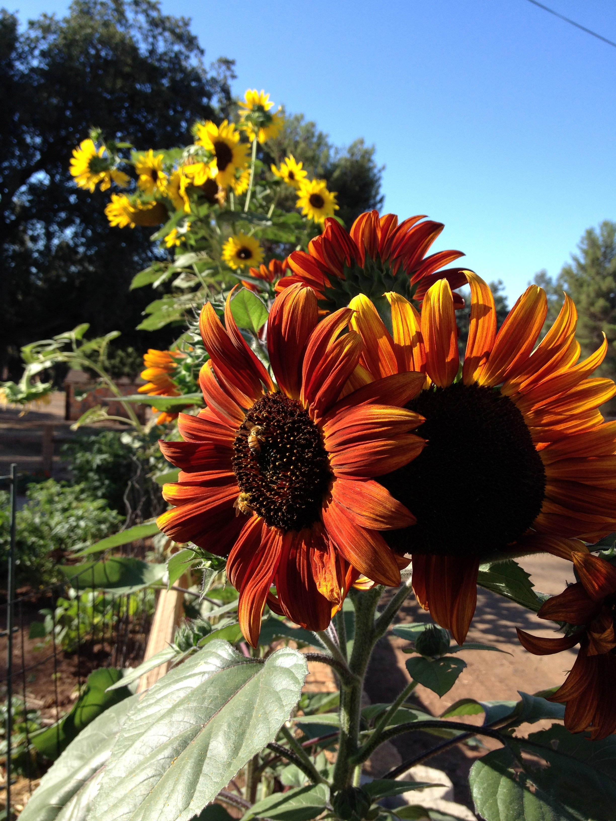 Rural gardening, edible gardening, color in the garden, San Diego Landscape Design